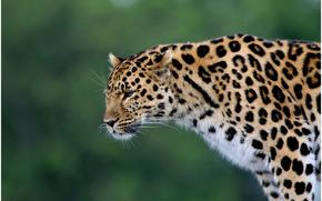 leopard, predatore, gattopardo