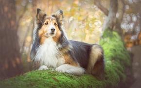 Collie, dog, tree, moss, portrait