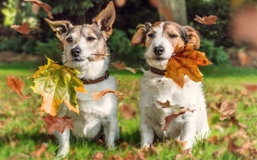 Jack Russell Terrier, Dog, couple, foliage, autumn