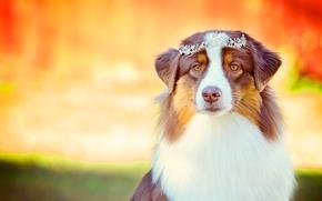Australian Shepherd, Aussies, cane, visualizzare, diadema, Glamour, ritratto
