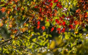 Japanese Maple, maple, BRANCH, foliage, autumn