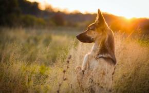 pastore, cane, cremagliera, tramonto, prato, erba, natura