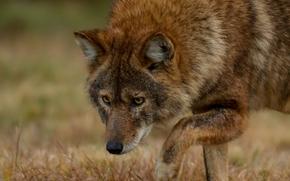 Koyvolk, predator, Snout, hybrid