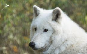 Hudson Loup, loup, Museau, portrait