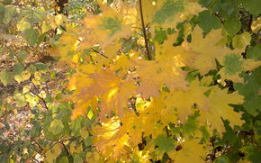 autumn, maples, yellow leaves
