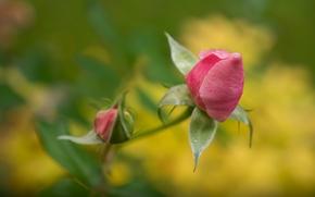 rosa, GERMOGLI, Macro, bokeh