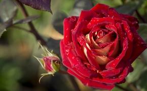 rose, BUD, Petals, drops, Macro