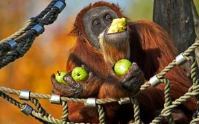 orangutan, monkey, pears, hammock