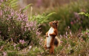 scoiattolo, Redhead, cremagliera, erica
