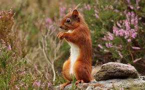 scoiattolo, Redhead, cremagliera, erica, pietra