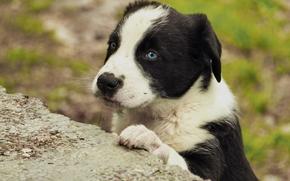 pies, szczeniak, Pysk, widok