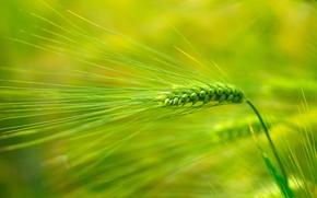 campo, mazorcas de maíz, Macro