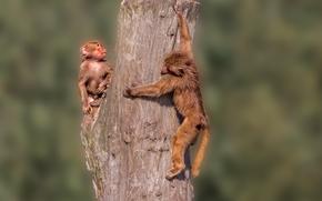 обезьяны, рыжие, бревно