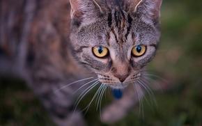 gatto, COTE, museruola, visualizzare