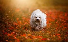 Гаванский бишон, собака, осень, листья