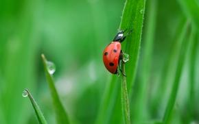 ladybug, grass, dew, drops, Macro