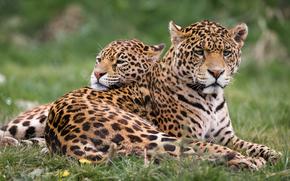 Giaguaro, predatore, animale