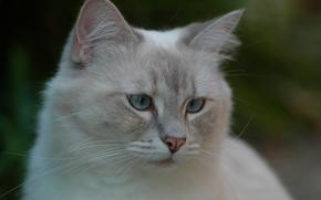 Ragdoll, gatto, museruola, visualizzare