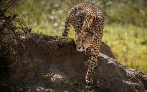 ghepardo, gattopardo, predatore