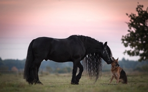 horse, raven, GRIVA, German shepherd, shepherd, dog, friendship, Friends