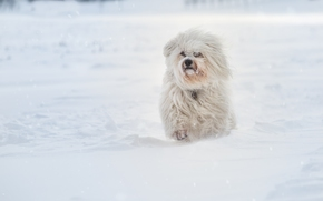 Havanese, dog, snow, winter
