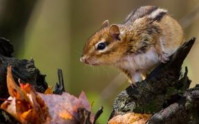 chipmunk, rodent, foliage, snag