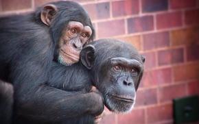 チンパンジー, サル, 霊長類