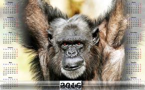 Chimp Calendario, scimmia, Simbolo Scimmia 2016, Calendario 2016, calendario con una scimmia