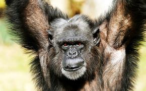scimpanzé, scimmia, primato