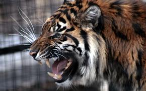 Amur tiger, predator, animal