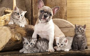 Bulldog Francese, cane, Gattini, Amici, amicizia