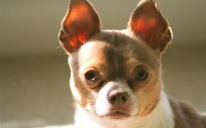 Chihuahua, dog, mordashka, ears, view