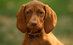 собака, морда, уши, взгляд