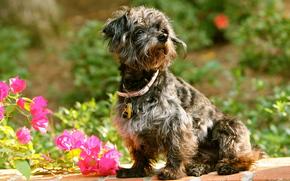 собака, ошейник, цветы, бугенвиллея