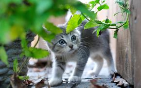 小猫, 灰色, 婴儿, 受惊, 草