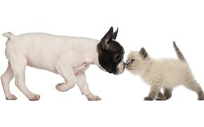 Bulldog Francese, British Shorthair, cane, cucciolo, gattino, Amici, amicizia