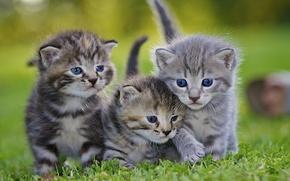 котята, серые, малыши, троица, трио