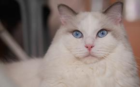 gatto, Krasava, museruola, gli occhi azzurri, visualizzare, ritratto