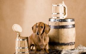 Dachshund, dog, barrel, Mugs, hide