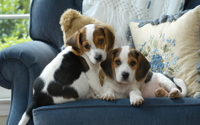 beagle, Dog, Puppies, kids, couple, twins, cushion, chair