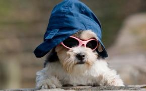 собака, очки, шляпа