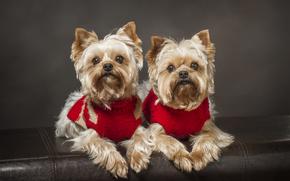 Yorkshire Terrier, Cane, coppia, gemelli, gemelli