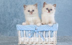 Ragdoll, Gattini, coppia, gemelli, cestino