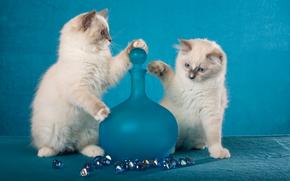 Ragdoll, Gattini, coppia, gemelli, bottiglia, Ciottoli