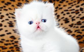 Perserkatze, weißen Kätzchen, kitten, weiß, Baby, blauen Augen
