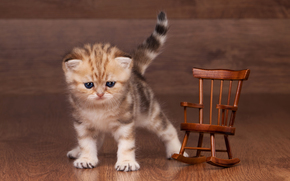 British Shorthair, kitten, baby, rocking chair