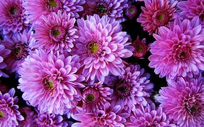 Dalie - Dahlias, Flowers, flora