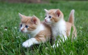 котята, малыши, парочка, двойняшки, прогулка, трава
