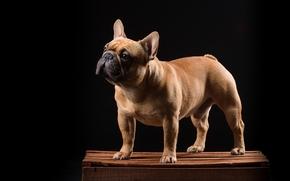 Французский бульдог, собака, ящик