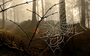 forest, trees, fog, spider web on the branch, Macro